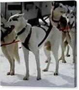 Sledge Dogs H B Canvas Print