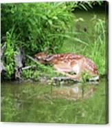Sleep Fawn White Tailed Deer Canvas Print