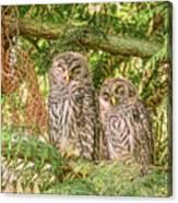 Sleeping Barred Owlets Canvas Print