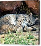 Sleeping Bobcat Canvas Print