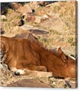 Sleeping Colt Canvas Print