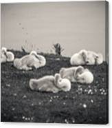 Sleeping Cygnets Canvas Print