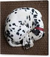 Sleeping Dalmatian II Canvas Print