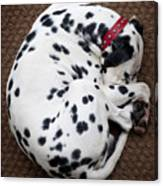 Sleeping Dalmatian Canvas Print