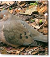 Sleeping Dove Canvas Print