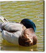 Sleeping Duck On Pond Canvas Print