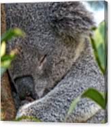 Sleeping Koala - Canberra - Australia Canvas Print