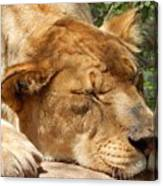 Sleeping Lioness  Canvas Print