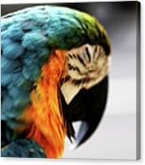 Sleeping Macaw Canvas Print