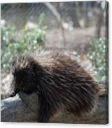 Sleeping Porcupine With Lots Of Quills Canvas Print