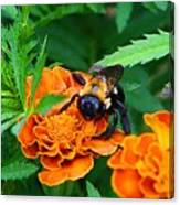 Sleepy Bumblebee Canvas Print