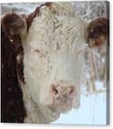 Sleepy Winter Cow Canvas Print