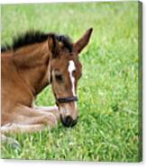 Sleepy Foal Canvas Print