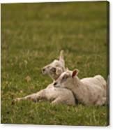 Sleepy Lamb Canvas Print