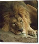 Sleepy Lion Canvas Print