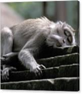 Sleepy Monkey In Monkey Forest Ubud Bali Canvas Print