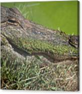 Sleepy Papa Gator Canvas Print