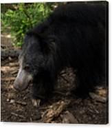 Sloth Bears Melursus Ursinusat Canvas Print