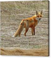 Sly Fox 5785 Canvas Print
