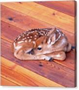 Small Deer Fawn Resting On Cedar Wood Deck Canvas Print