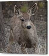 Small Fawn In Tombstone Canvas Print