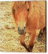 Small Horse Large Beauty Canvas Print