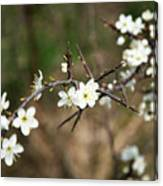 Small White Flowers Of Thorns Canvas Print