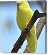 Small Yellow Budgie Parakeet In The Wild Canvas Print