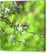 Smelling The Cherry Blossom Male  American Goldfinch Canvas Print