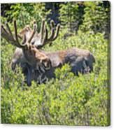 Smiling Bull Moose Canvas Print