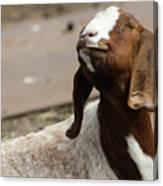 Smiling Goat  Canvas Print