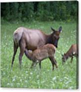 Smoky Mountain National Park Elk Cow Nursing Calf Canvas Print