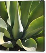 Smooth Agave Canvas Print