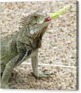 Snacking Iguana On A Concrete Walk Way Canvas Print