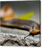 Snail Searching For Shell Canvas Print