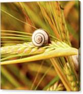 Snails On Wheat Canvas Print
