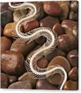 Snake Skeleton  Canvas Print