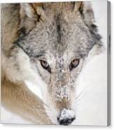 Sneaky Wolf Canvas Print