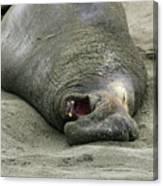 Snoring Elephant Seal Canvas Print