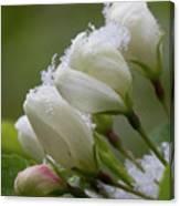 Snow Blossoms Canvas Print