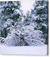 Snow Burdened Tree In The Flatirons Canvas Print