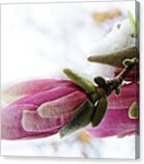 Snow Capped Magnolia Blossoms Canvas Print