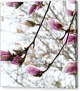 Snow Capped Magnolia Tree Blossoms 2 Canvas Print