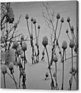 Snow Covered Coneflowers Canvas Print