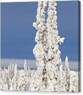 Snow Covered Spruce Trees Canvas Print
