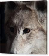 Snow Coyote Canvas Print