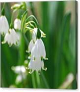 Snow Drop Lily Canvas Print