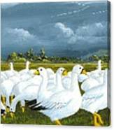 Snow Geese Gathering Canvas Print