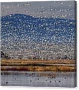 Snow Geese Landing Canvas Print
