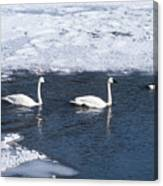 Snow Geese On The Move Canvas Print